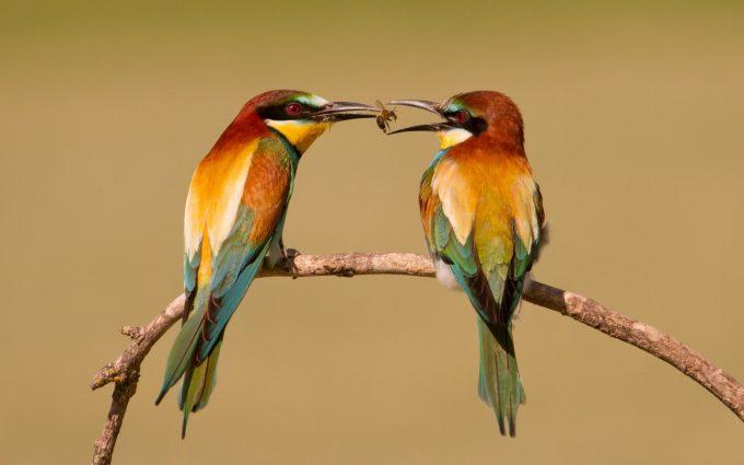 bee eaters birds