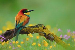 bee eaters birds hd