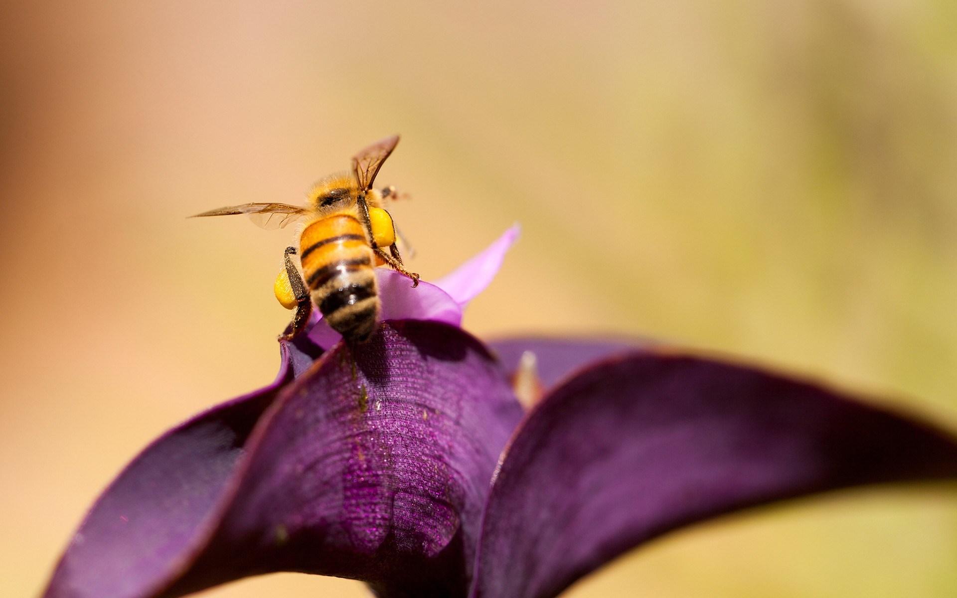 Bee Flower - HD Desktop Wallpapers