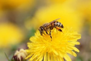 bee wallpaper download