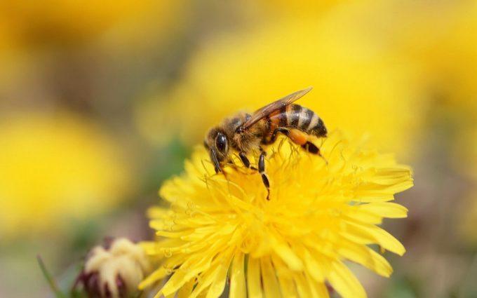 bee wallpaper download