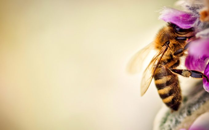 bee wallpaper free