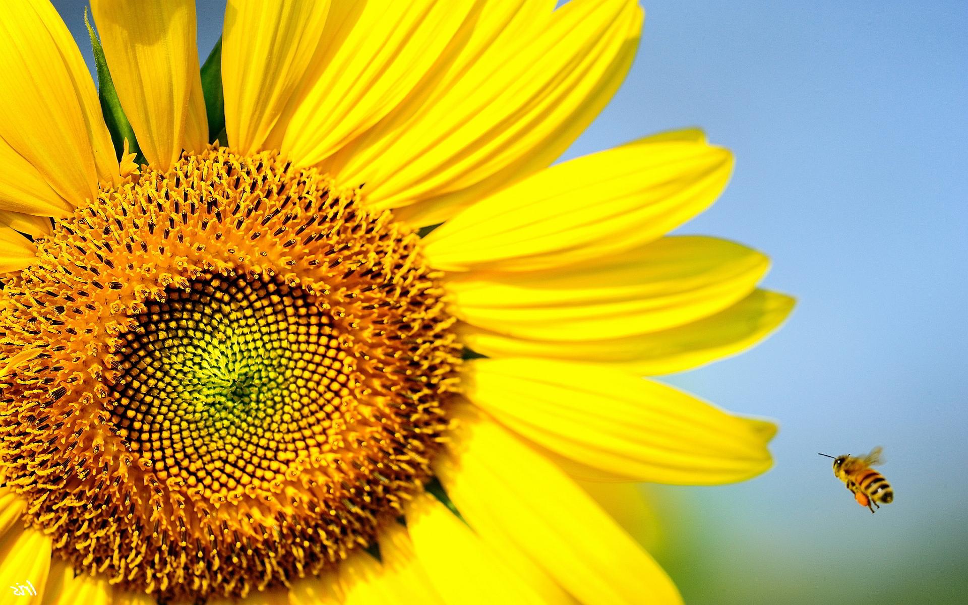 Bee Wallpapers - HD Desktop Wallpapers