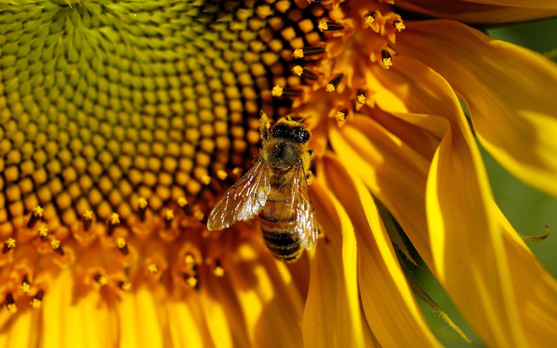 Bee Hd Desktop Wallpapers 4k Hd