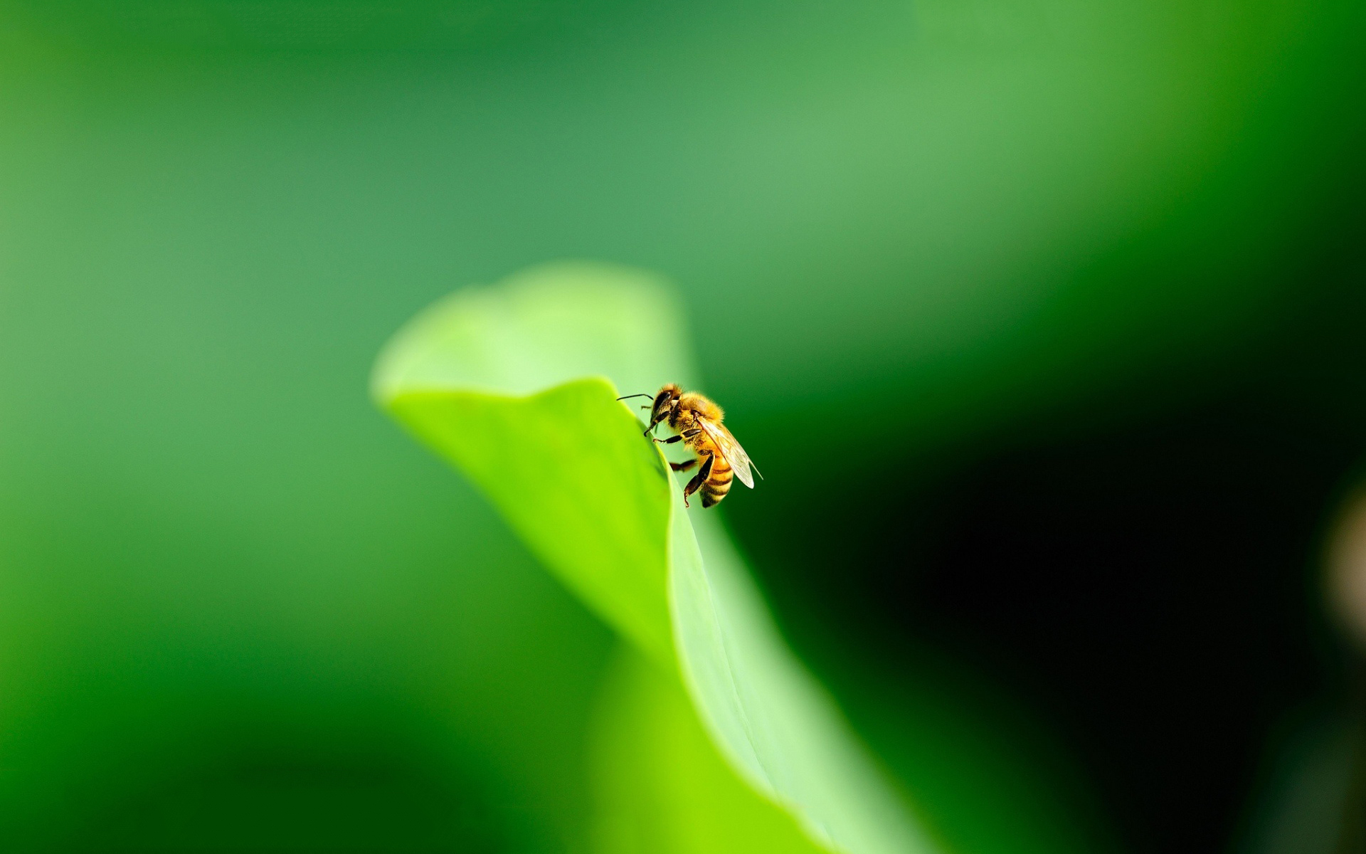 bees wallpaper hd