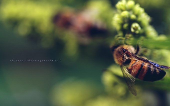 bees wallpapers hd