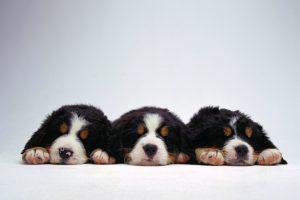 bernese puppies