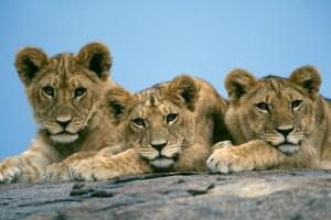 best lion wallpaper