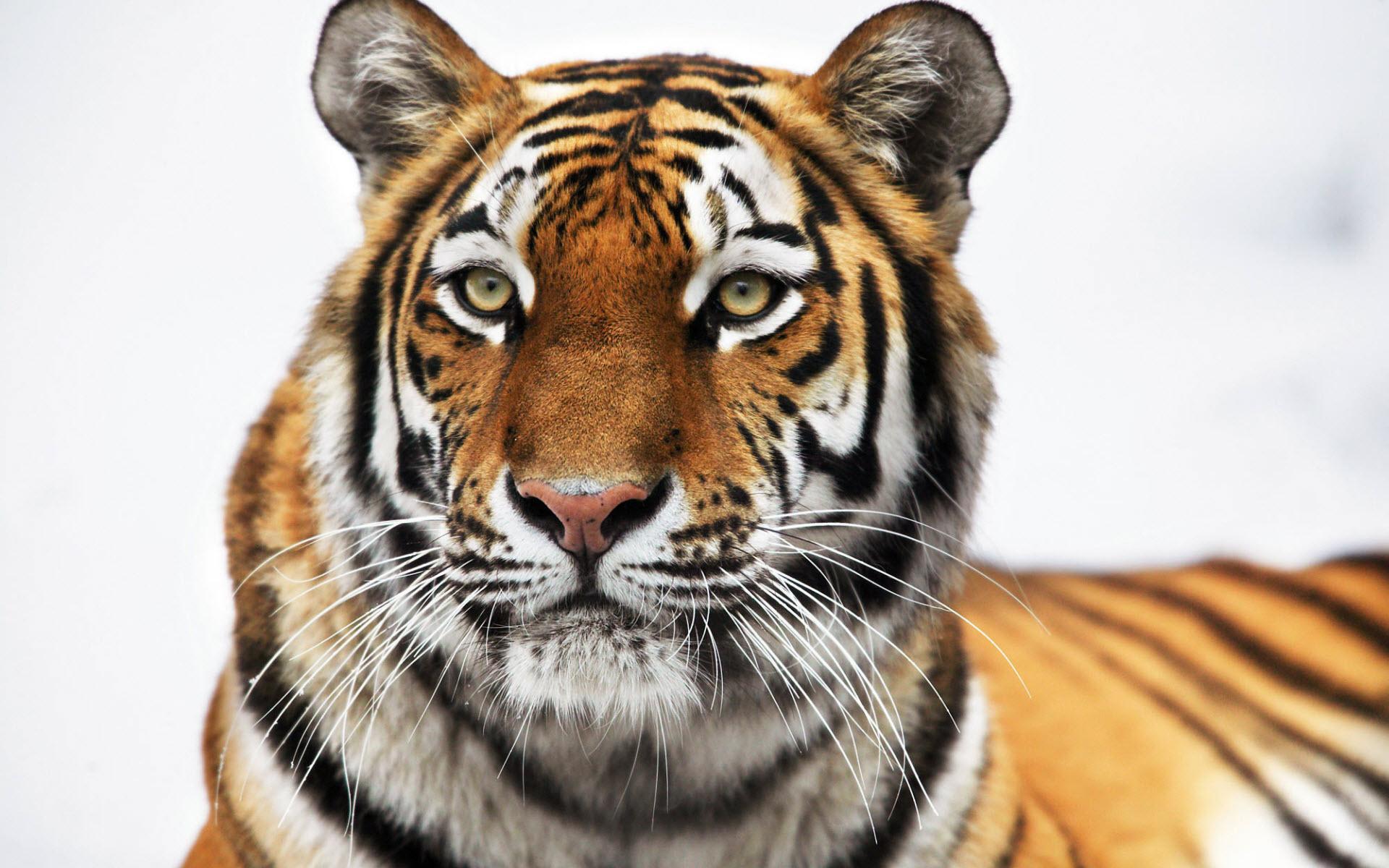 best tiger wallpaper