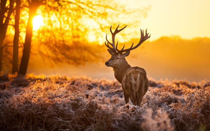 big deer wallpapers