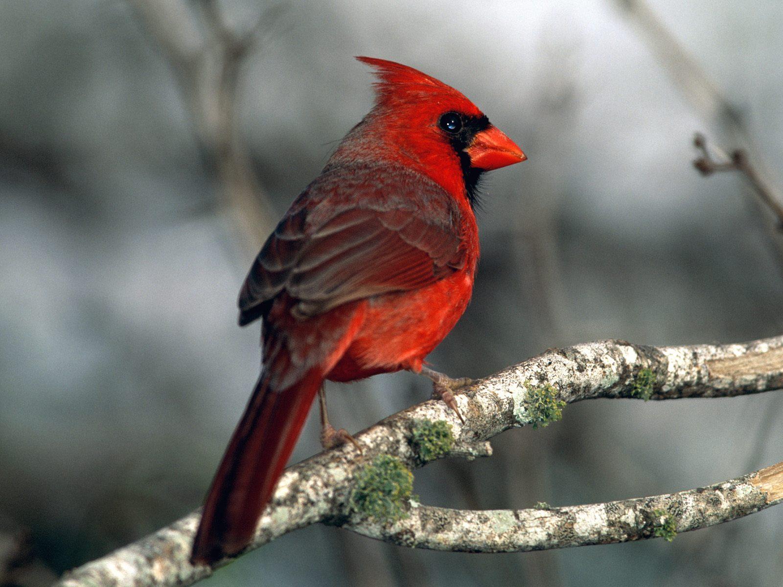 bird cardinal images