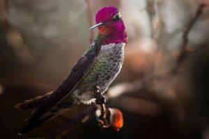 bird hummingbird