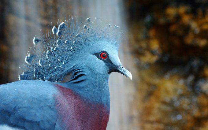 bird victoria crowned pigeon