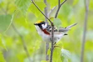 Chestnut-sided Warbler (Dendroica pensylvanica) male, Nova Scotia, Canada