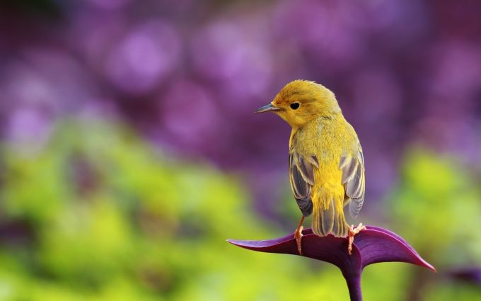 bird wallpaper yellow