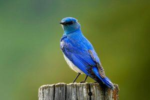 bird wallpapers blue