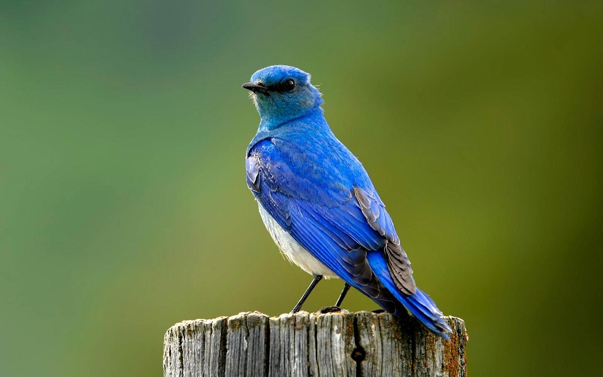 bird wallpapers blue
