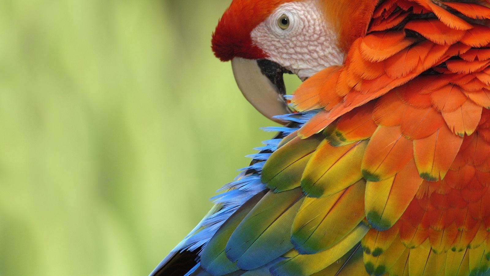 birds parrot wallpaper