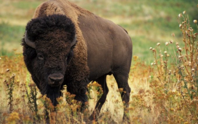 bison picture