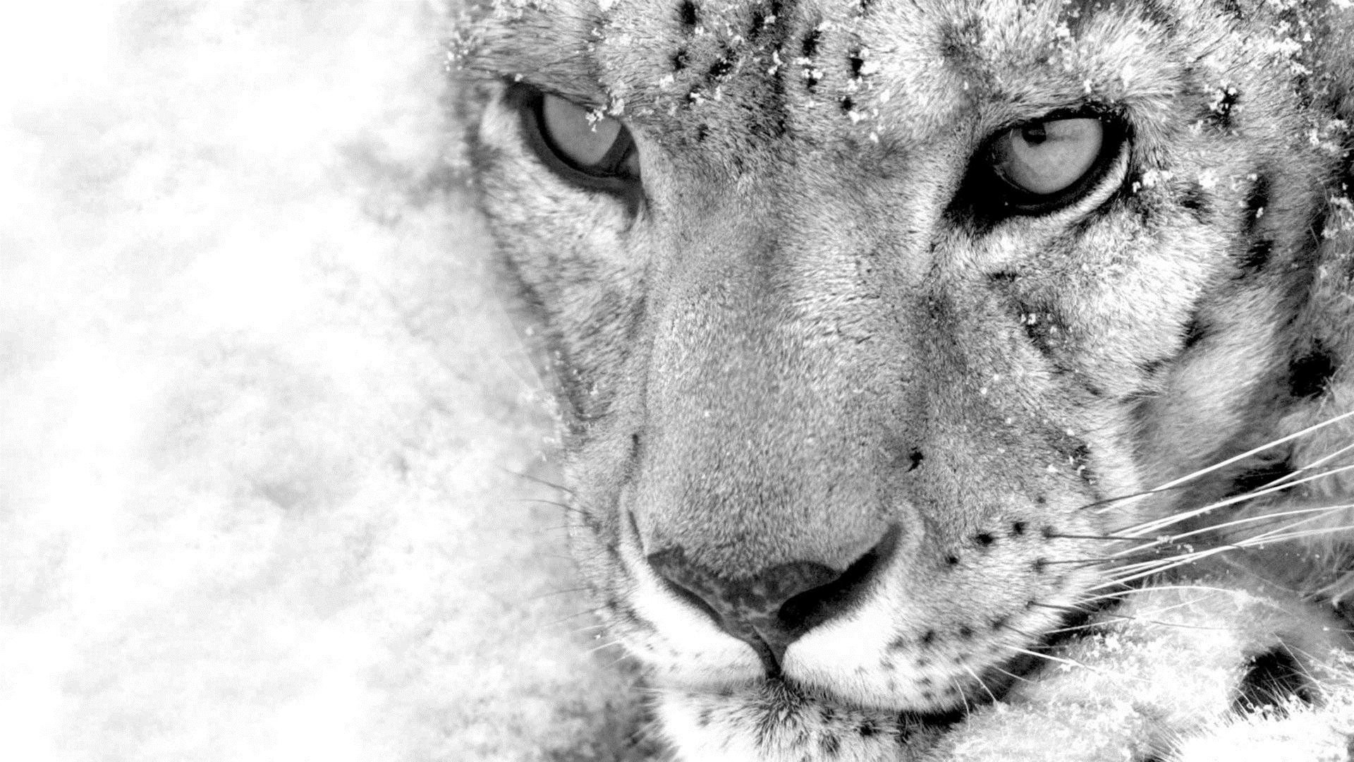 black and white leopard wallpaper - HD Desktop Wallpapers ...