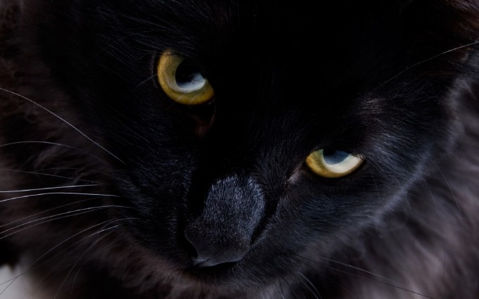 black cat kitty