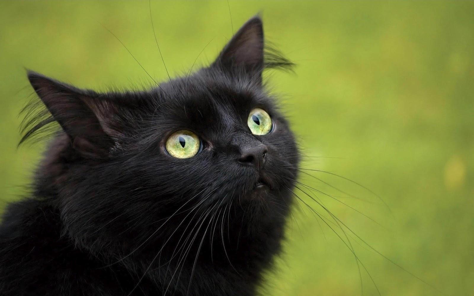 black cat pictures