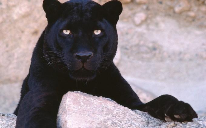 black cat wild
