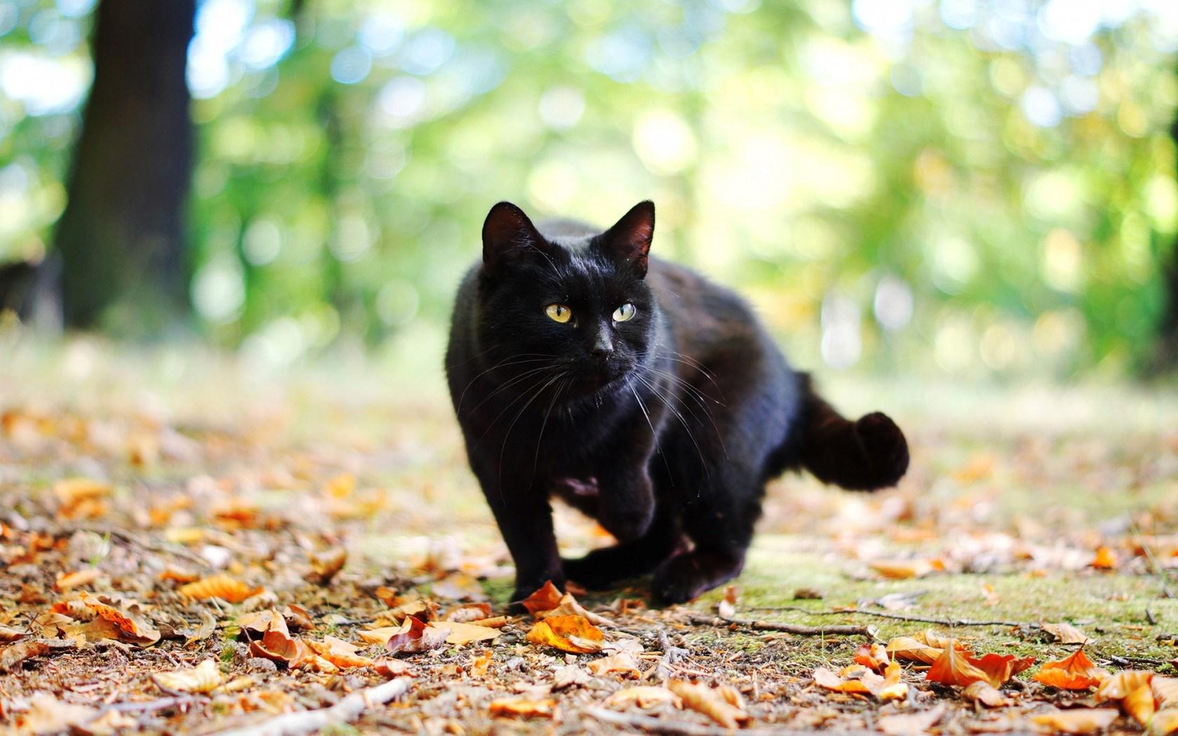Free Black Cat Screensavers