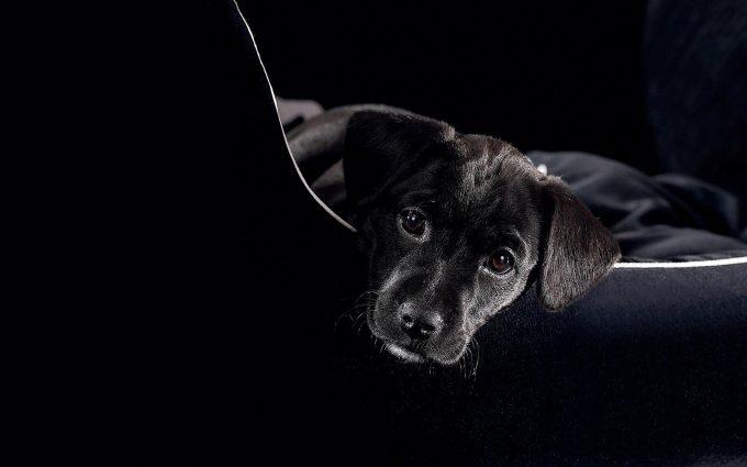black labrador hd