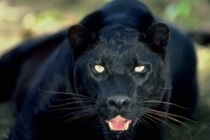 black panther angry