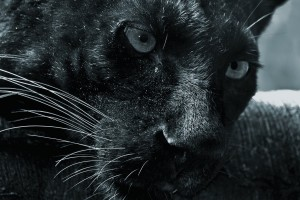 black panther cat