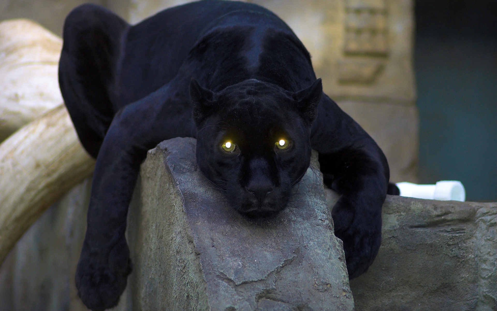 black panther chilling