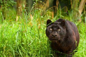black panther nature