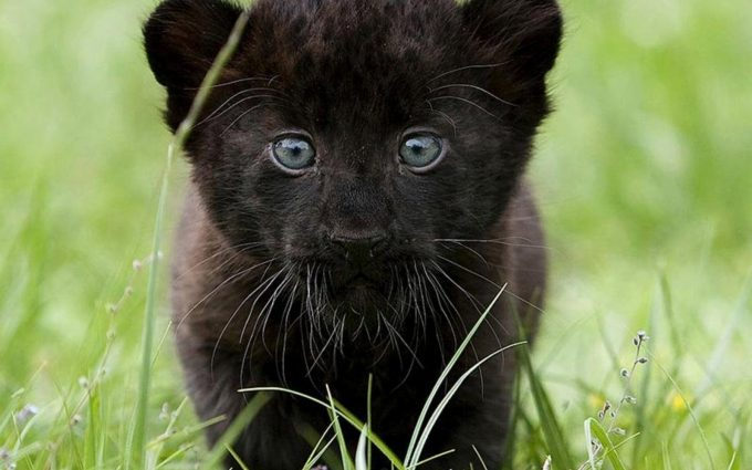 black panther pup