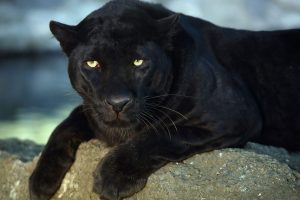 black panther wallpaper A10