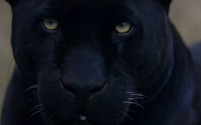 black panther wallpaper A2