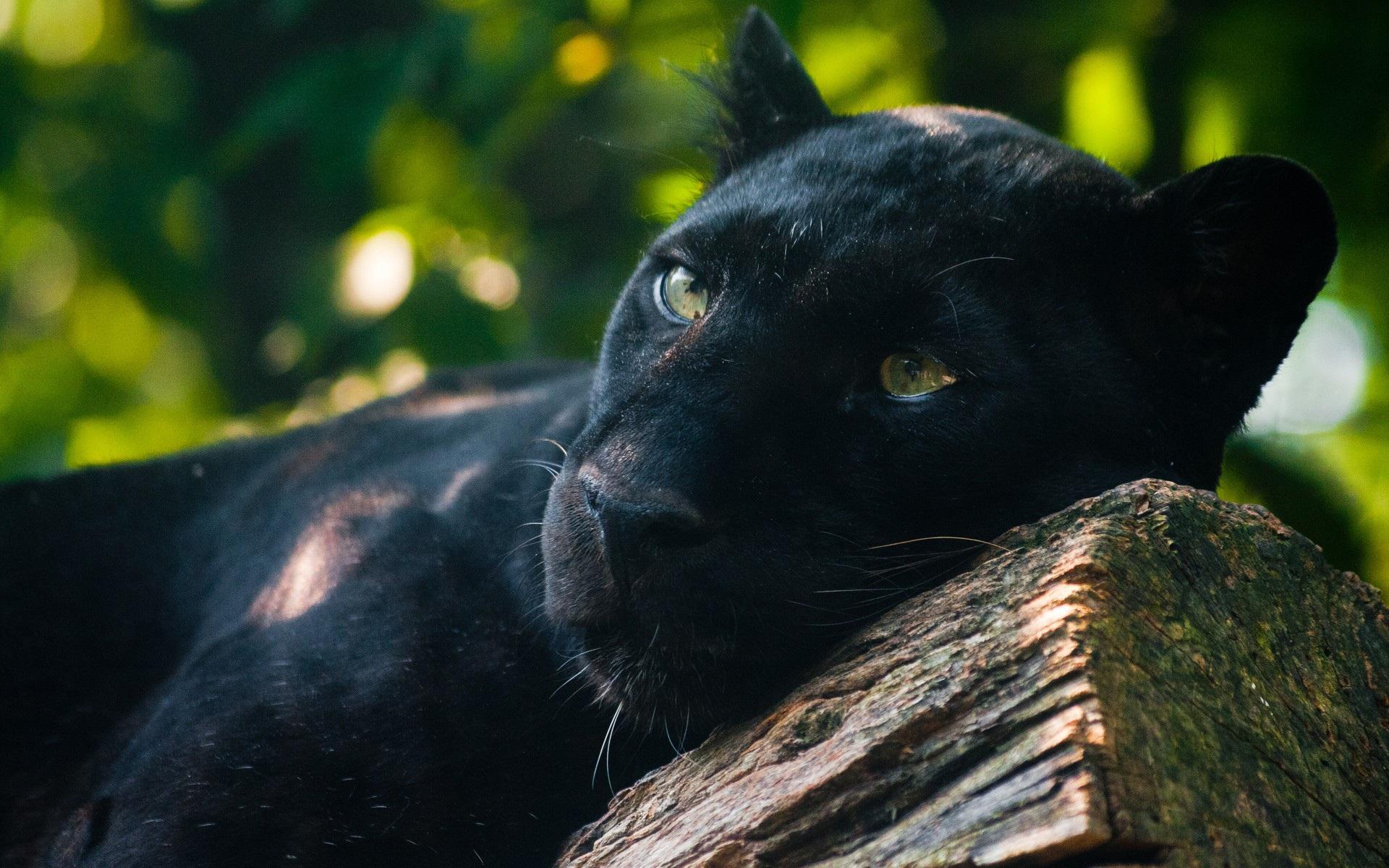 black panther wallpaper A3