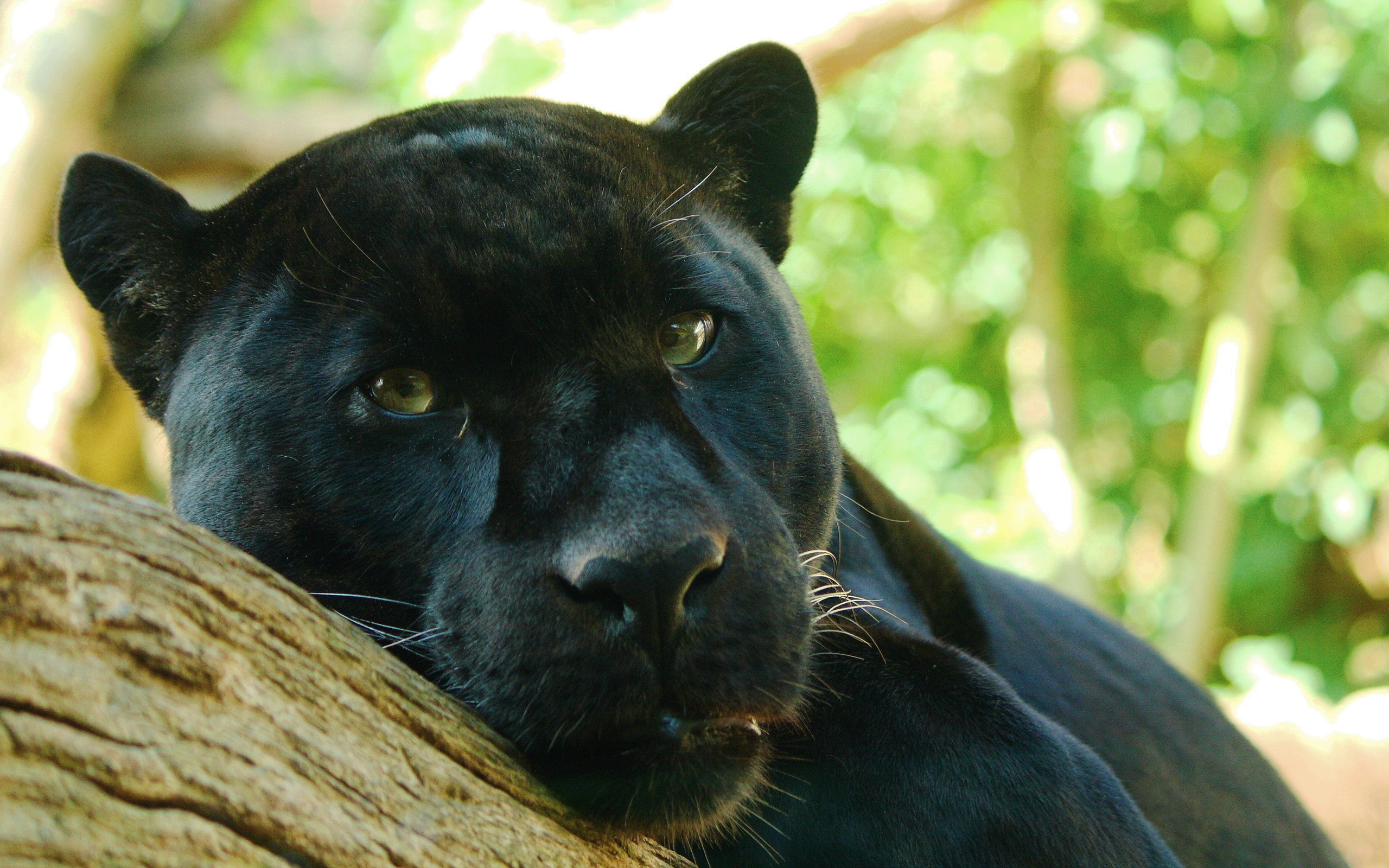black panther wallpaper A5