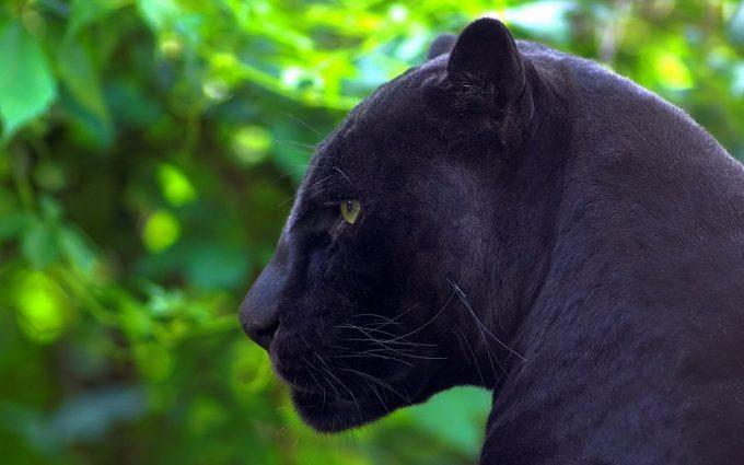 black panther wallpaper A6