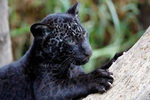 black panther wild