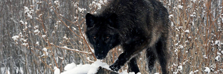 black wolf hd desktop wallpapers