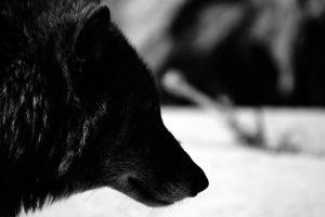 black wolf wallpaper hd