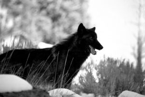 black wolf wallpapers