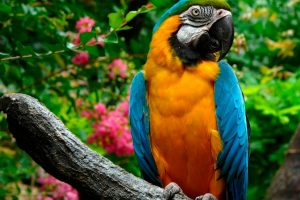 blue and gold macaw wallpaper