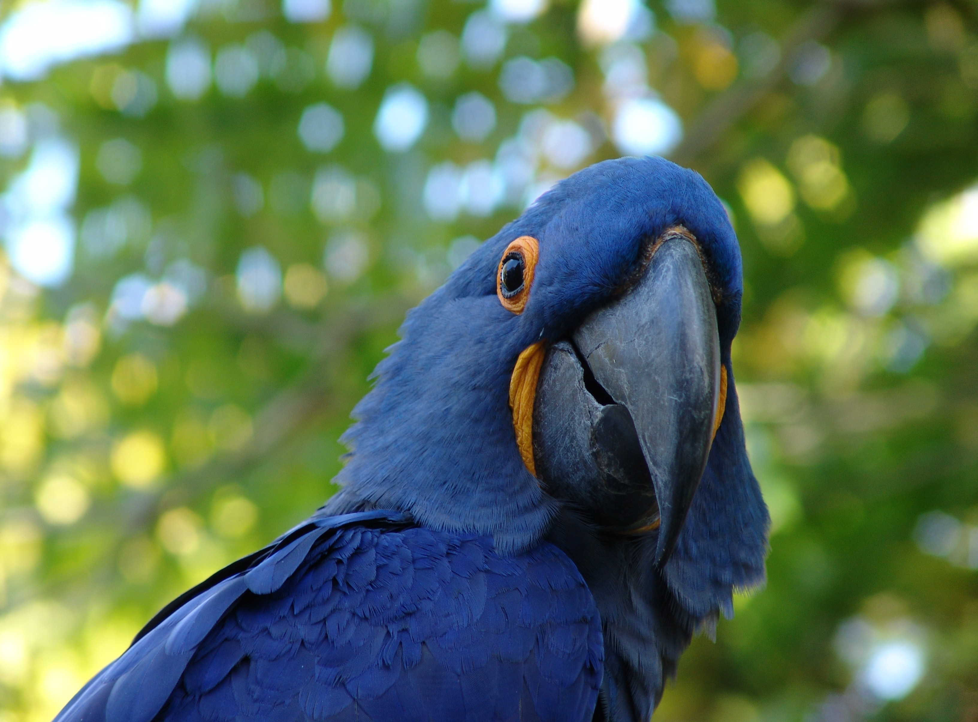 Bluewinged Parrot  BIRDS in BACKYARDS