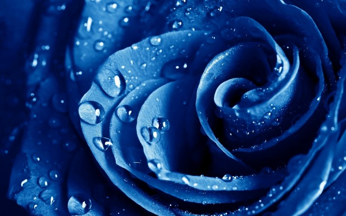 blue rose wallpaper background