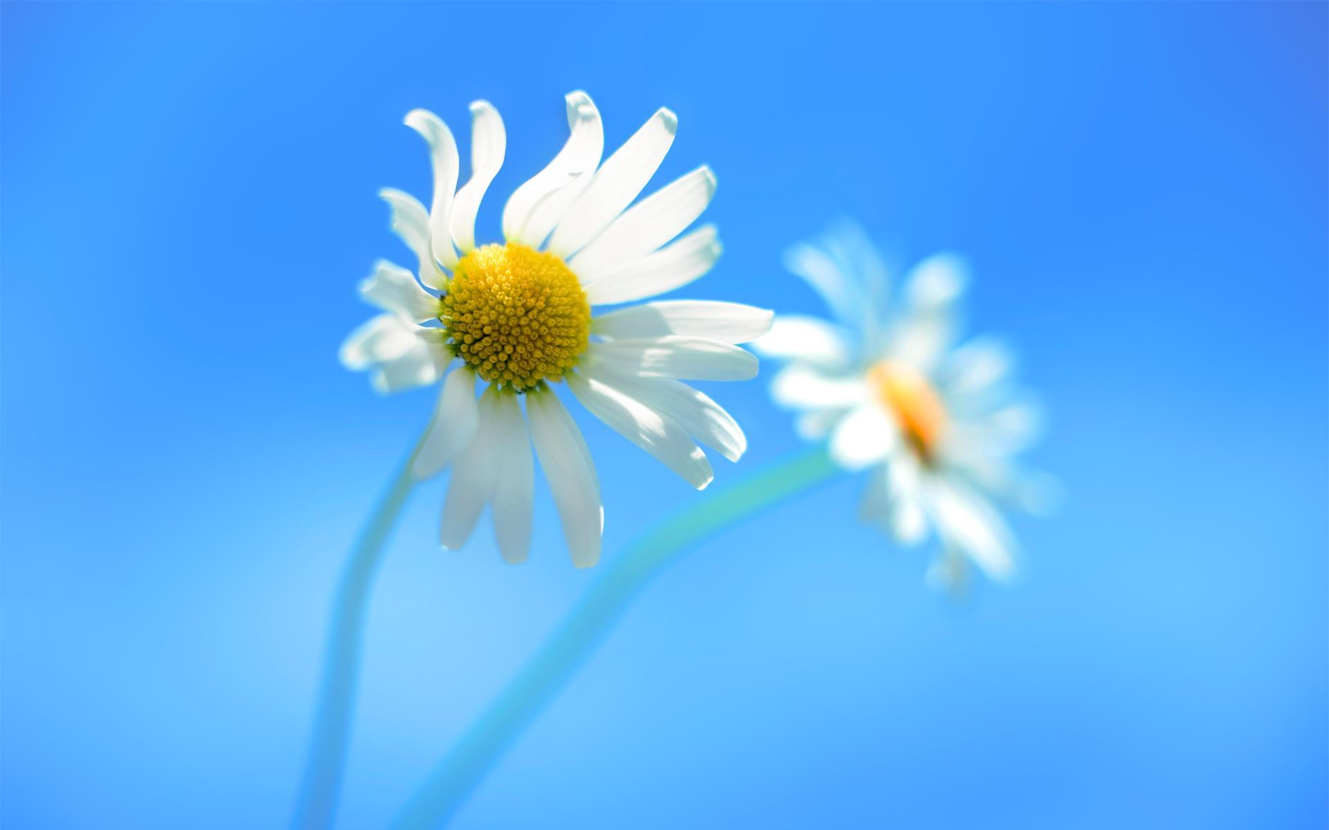 blue wallpaper daisy