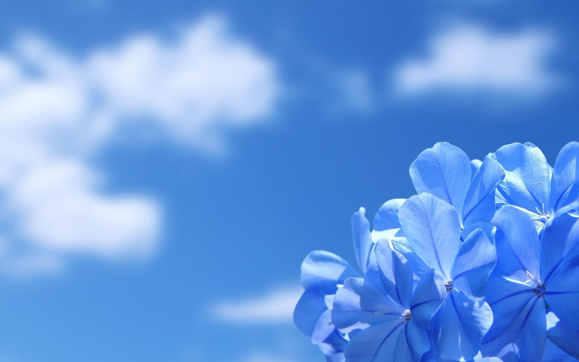 blue wallpaper flower hd