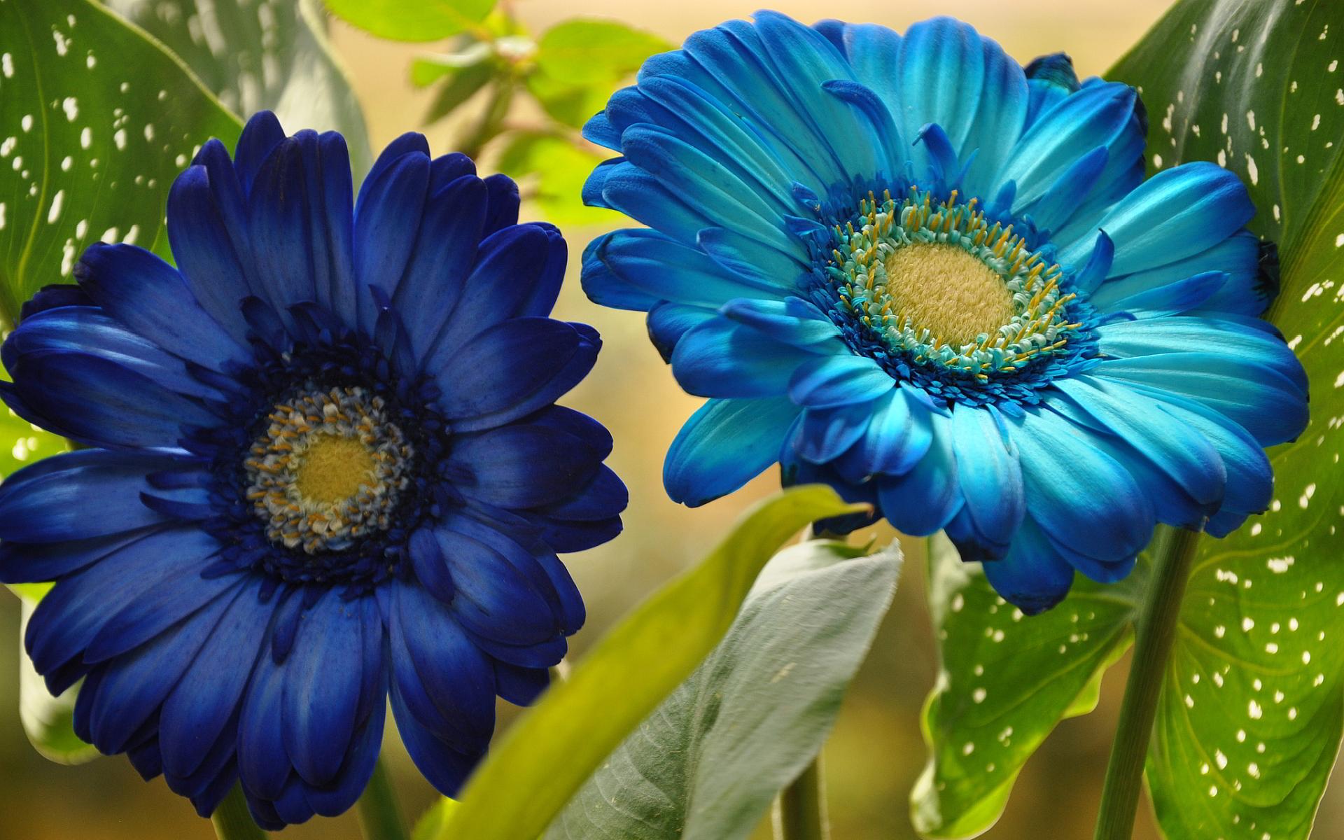 blue wallpaper gerbera
