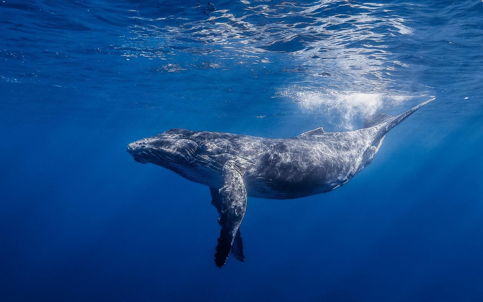 blue whale hd